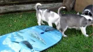6 Siberian Husky Pups (sled Dogs) On Boogie Board ;-)