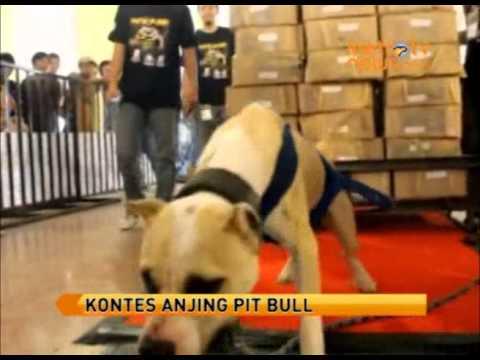 Anjing Pit Bull Tarik Beban Satu Ton