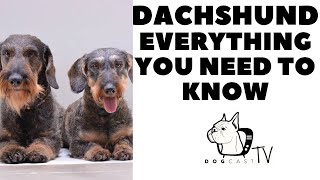 The Dachshund  Everything you need to know! DogcastTV!