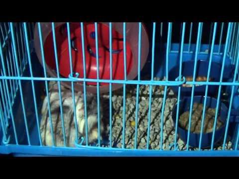 Proses perkawinan hamster part 1