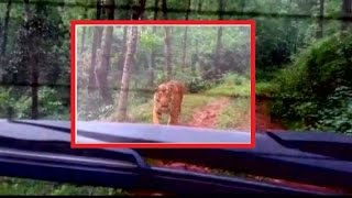 Caught on Camera: Man Vs Wild: Longest ever Tiger chase