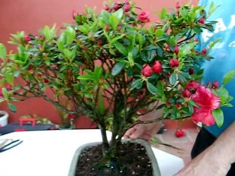 azalea japonica en flor - youtube