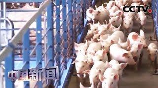 [中国新闻] 农业农村部:中国非洲猪瘟防控成效显著 | CCTV中文国际
