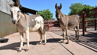 How to work with donkey feet - handling issues