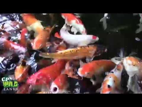 Koi Carp Fish !