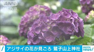 しとしと雨の中・・・アジサイの花色づく 鷲子山上神社(20/06/28)