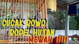 Single Terbaru -  Cucak Rawa Rowo Suara Mewah Ropel Hutan Nggulung