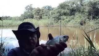 Pescaria de Curimba no Rio Feio assista até o fim e veja quantos alevinos de curimbas
