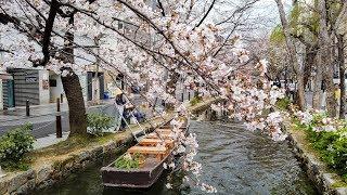 4K 京都桜の開花情報2019年3月31日・高瀬川~祇園白川
