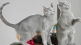 10 Best Cat Breeds With Short Hair