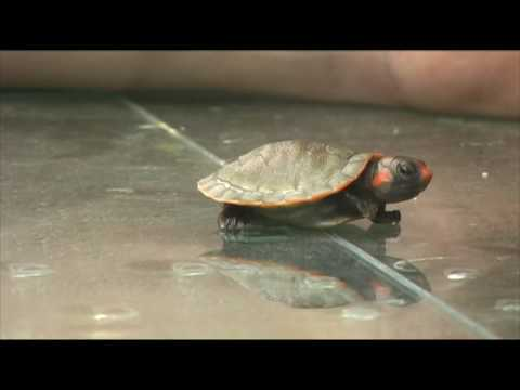 Baby South American red-headed turtle