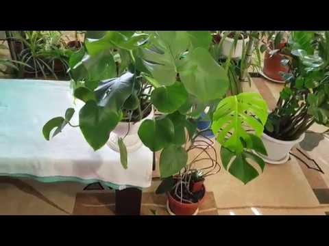 Домашние растения. Размножение Монстеры методом деления куста.