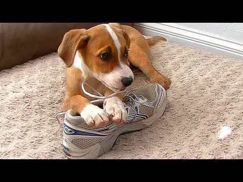 how-to-manage-puppy-chewing
