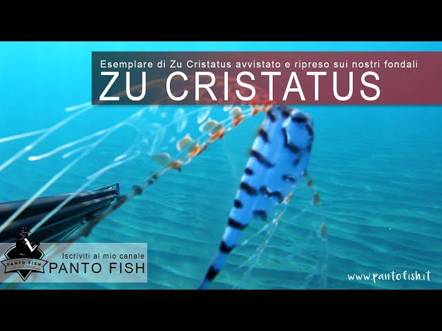 Esemplare di ZU CRISTATUS avvistato nei nostri bellissimi fondali siciliani