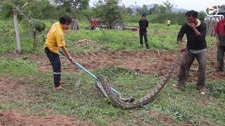 4-meter-long python found on famer's field