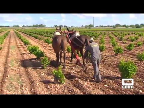 Arado con mulas, una tradición que recuerdan en Tomelloso - YouTube