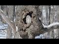 """view 森で眠る愛らしい""""神"""" 北海道・釧路湿原のエゾフクロウ"""