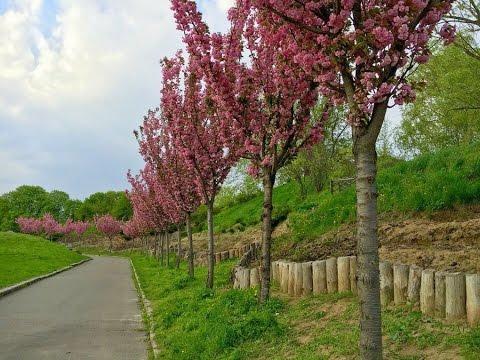 магнолии цветут - слушать онлайн, скачать бесплатно без