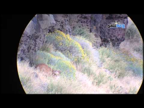 Spot And Stalk Archery Mountain Lion Hunt 2013