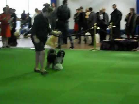 Tibetan terriers @ Westminster
