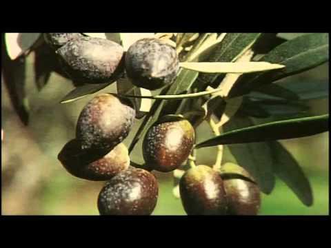 Ecotrap - Παγίδα για την καταπολέμηση του δάκου της ελιάς