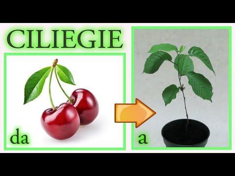 come ottenere un ciliegio dagli scarti del frutto, a costo zero, cherry tree, cerezo, cerisier
