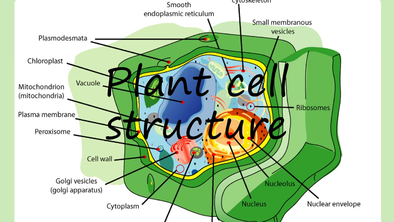 How to say Plant cell structure in English?