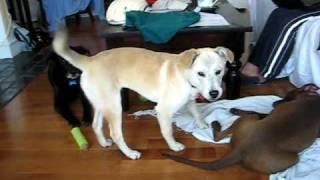 Moshi Up For Adoption, Lab/beagle Mix
