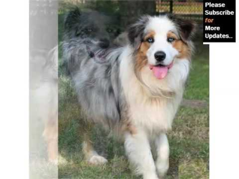 Australian Shepherd Blue Merle Picture Collection And Ideas Dogs Breed You