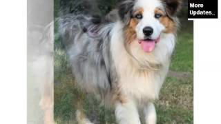Australian Shepherd Blue Merle Picture Collection And Ideas - Dogs Breed