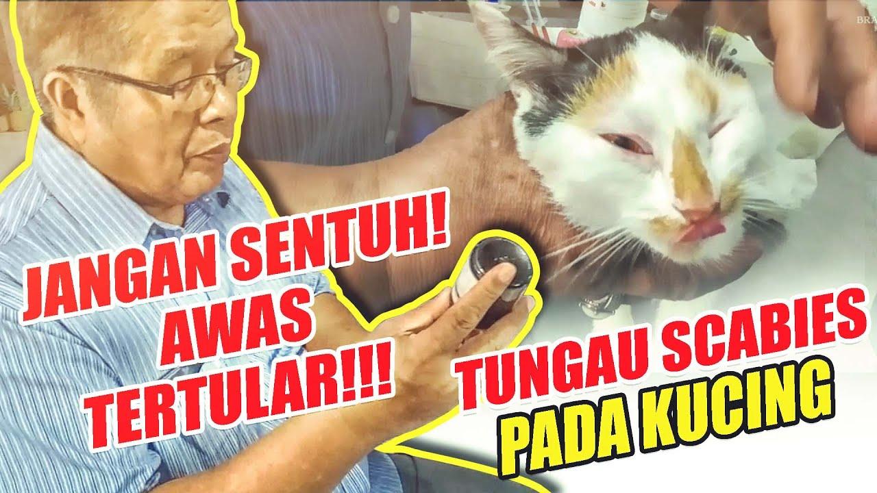 Mengobati Scabies Pada Kucing Awas Tertular Youtube