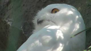 More Snowy Owl Bird Snowy White Owl Mysterious bird of Quebec