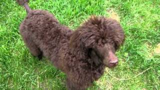 6 Month Old Standard Poodle Jumping Through Tire