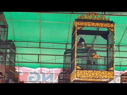 Lomba Burung Kacer A | Launching BNR Sambas