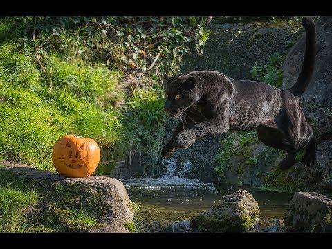 Beautiful Black Jaguar Goshi Goes In Pursuit Of Pumpkins At Chester