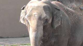 Denver Zoo elephant Dolly pulverizes pumpkin