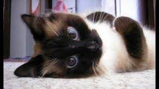 Кот сиамский+