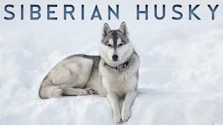 Siberian Husky   சைபீரியன்  ஹஸ்கி நாய்கள்    Storyboard   Tamil