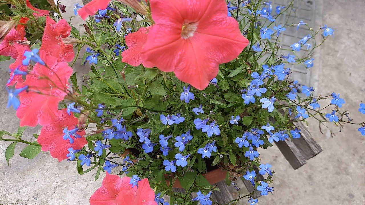 Лобелия / Посев лобелии /Лобелия, выращивание из семян