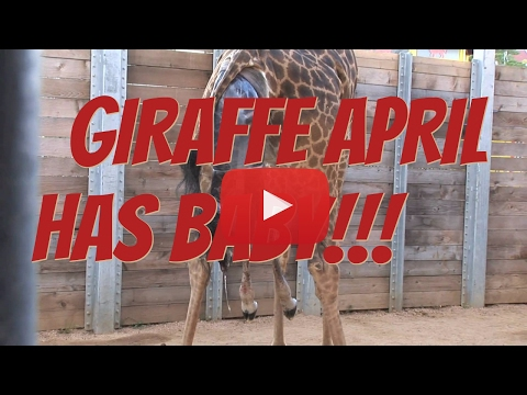 Thumbnail: Giraffe April Has Baby! Birth Caught On Live Cam