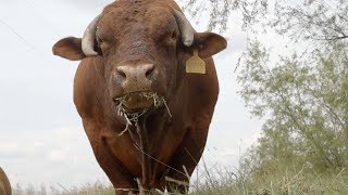 Grass-Fed Beef  | ABC News