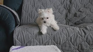 Cute Maltese Puppy Dog Learning To Use Stairs Things Plainfield Puppies Doing Funny Videos