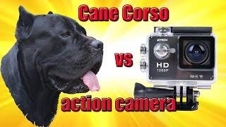 Видео показывает как Cane Corso Деррек с экшн-камерой на спине игра...