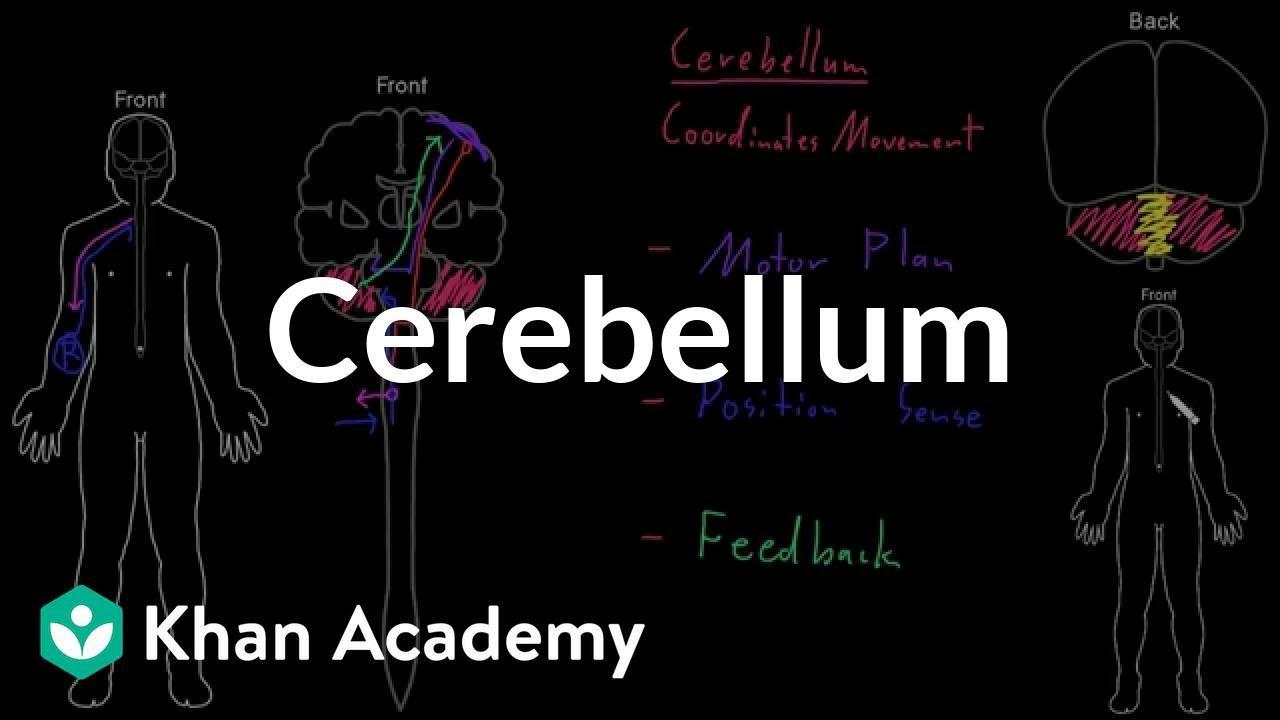 Cerebellum organ systems mcat khan academy youtube cerebellum organ systems mcat khan academy ccuart Image collections