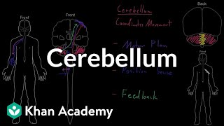 Cerebellum | Organ Systems | MCAT | Khan Academy