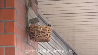 2017-06-16富士見ヶ丘・成田歯科。 落巣の翌朝の様子です。 朝7時過ぎ、...