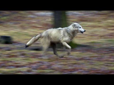 Wolf vs Dog Intelligence Test | Bang Goes The Theory | Brit Lab | BBC