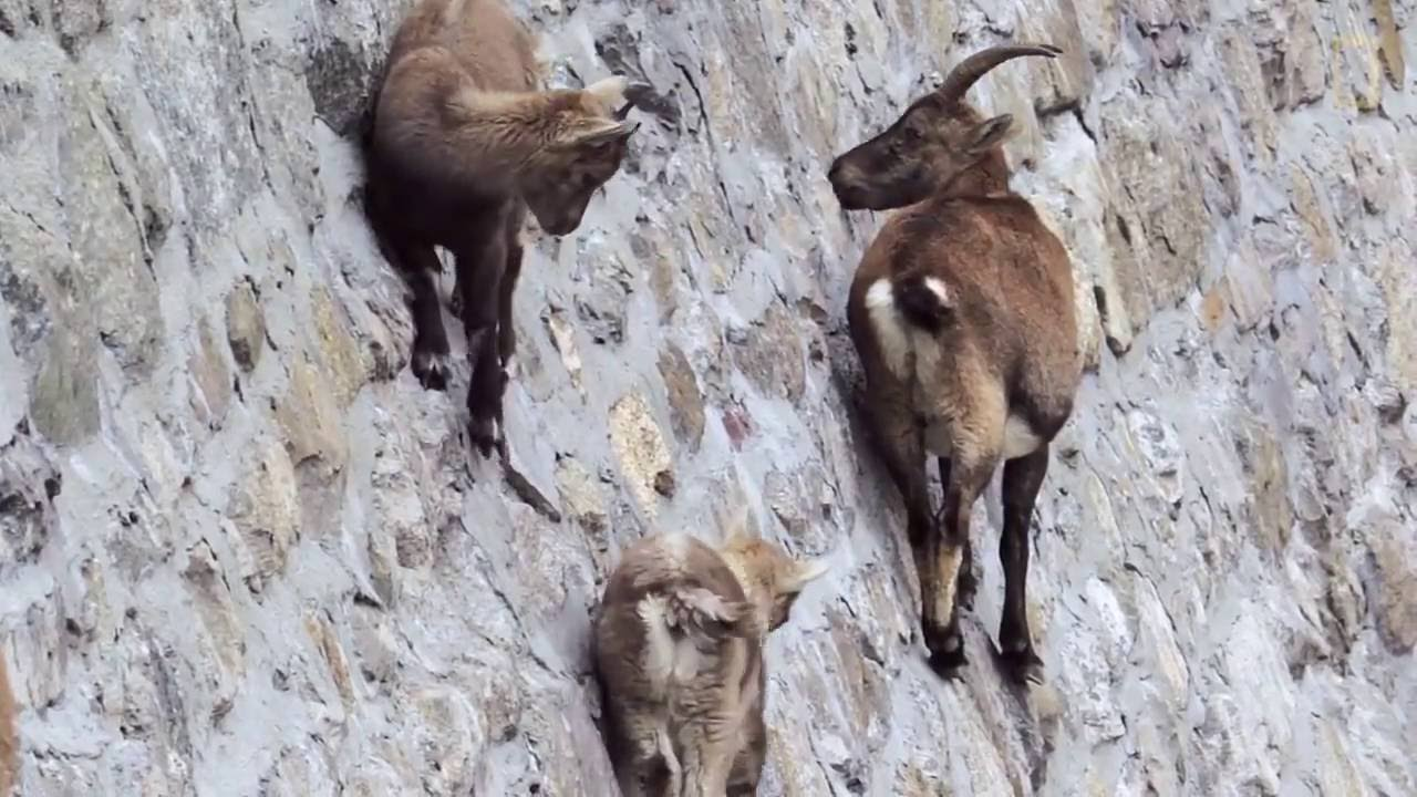 Ibex Goat Alpine Ibex goa...