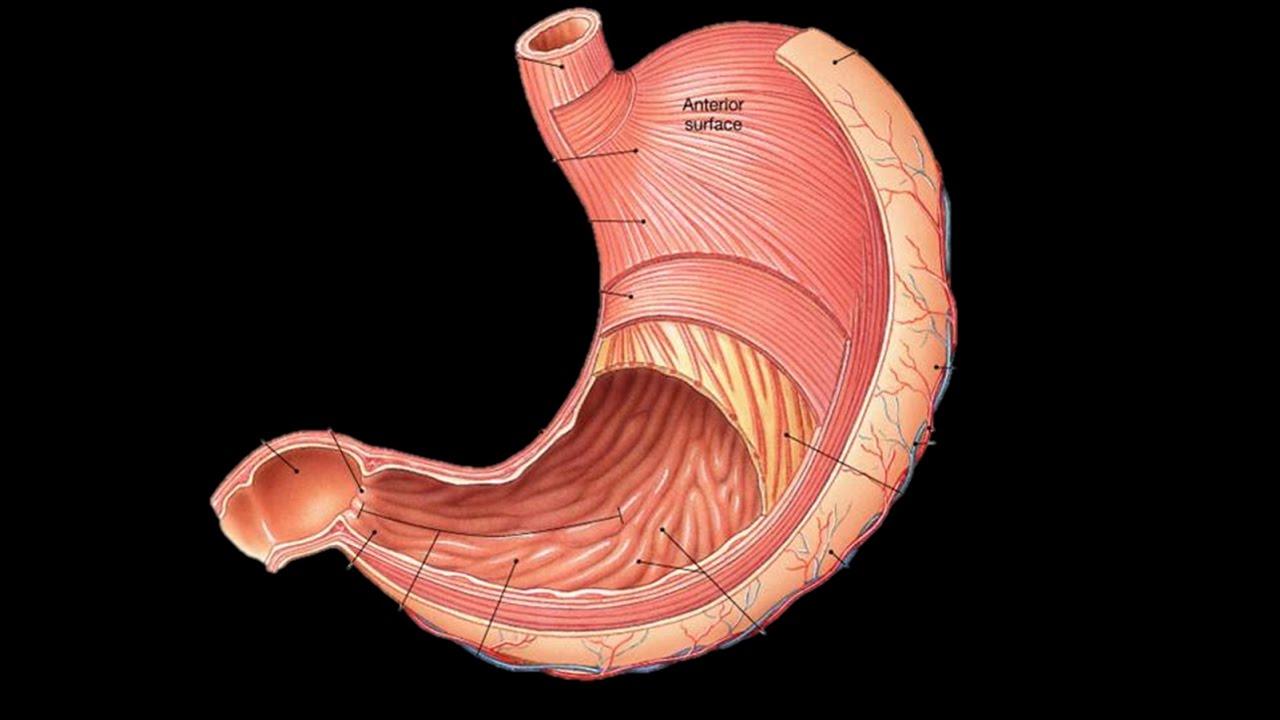 Картинка орган желудок