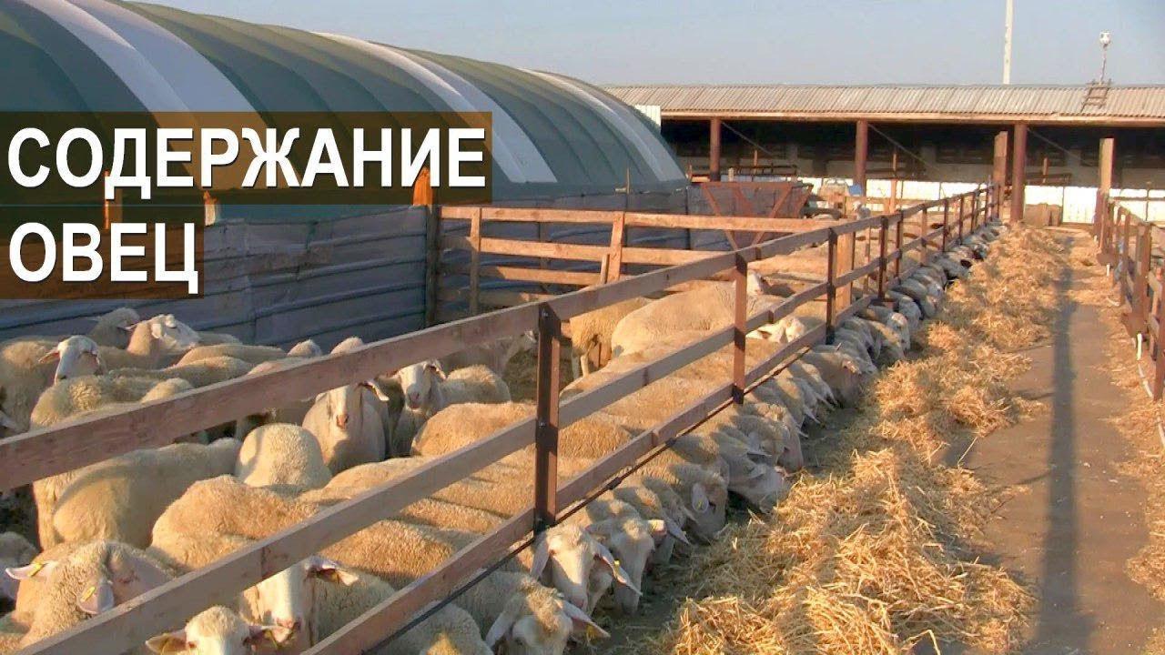 Содержание овец породы Мериноланд. КФХ Мартинс. Крым